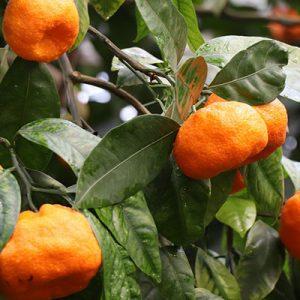 Mandarine Rot