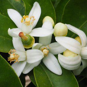 Nerolihydrolat / Orangenblütenhydrolat, Bio