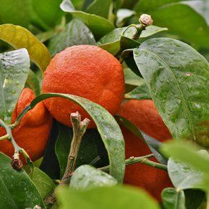 Orange Süß, kaltgepresst